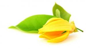 ylang-ylang-flower