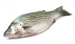 sea-striped-bass